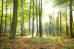 Forest dawn Royalty Free Stock Photography