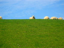 A beautiful day. Green grass and a bright blue sky with a few sheep Stock Photos