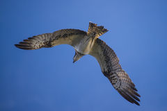 A beautiful day in a boat at five sea, flying osprey, pandion ha Royalty Free Stock Images
