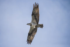 A beautiful day in a boat at five sea, flying osprey, pandion ha Stock Photos
