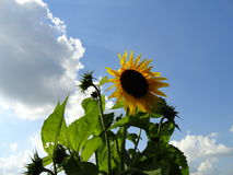 Sunflower with sunshine behind a cloud. A wonderful sunshiny day, fluffy clouds, sunflowers in bloom.  Summer will soon be over and cooler fall temperatures are Royalty Free Stock Photo