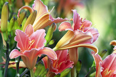 Beautiful day lilies. In garden Stock Image