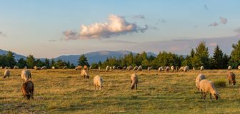 A beautiful day and the sheep grazing in a green field. With trees, mountains, and clouds in the sky Stock Image