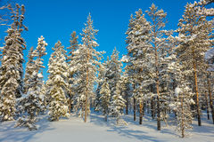 Beautiful Day - Winter forest landscape, sunny weather and snow Stock Images