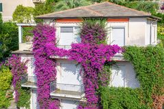 Beautiful daylight view to purple flowers on a house in Santa Margherita Ligure. Beautiful daylight view to purple flowers on a house. Santa Margherita Ligure Stock Images