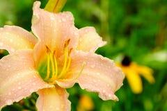 Beautiful Daylily. A beautiful peachpuff daylily with dew drops Stock Photography