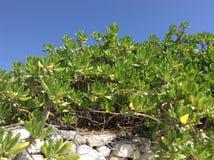 Close up image of Manchineel trees