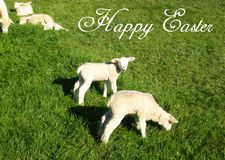 Postcard with a sweet swiss lamb and sheep on a green meadow in the sunshine for easter cards stock photography