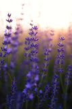 Beautiful deatil of a lavender field Royalty Free Stock Image