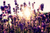 Beautiful deatil of a lavender field Stock Photo