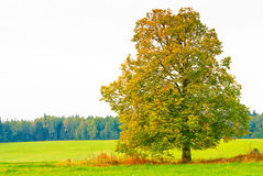 Beautiful deciduous tree in a field. On a background cloudy sky Stock Image