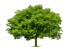 Beautiful deciduous tree on white Stock Image