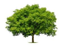 Beautiful deciduous tree on white. Beautiful fresh green deciduous tree isolated on pure white background stock image