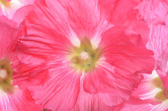 Beautiful decorating hollyhock flowers. /Althaea officinalis Royalty Free Stock Photos