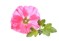 Beautiful decorating hollyhock flowers. /Althaea officinalis/isolated white background Stock Image