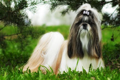Beautiful decorative dog breed the Shih Tzu is in the summer out. Side in full growth. A glamorous companion for girls and family royalty free stock images