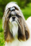 Beautiful decorative dog Shih Tzu walks in the summer on the nat. Ure. Well-groomed hair and flowing hair with a bow. Family companion for children royalty free stock photography