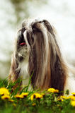 Beautiful decorative dog Shih Tzu walks in the summer on the nat. Ure. Well-groomed hair and flowing hair with a bow. Family companion for children royalty free stock photos