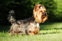 Beautiful decorative dog Yorkshire Terrier standing in show posi Royalty Free Stock Photography
