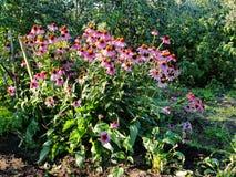 Beautiful decorative flowers in the summer garden. large Bush flower purple Terry selenium. Royalty Free Stock Image