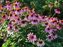 Beautiful decorative flowers in the summer garden. large Bush flower purple Terry selenium. Royalty Free Stock Photo