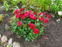 Beautiful decorative flowers in the summer garden. large shrub with open flower buds red Terry tea rose. Stock Image