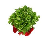 Beautiful decorative frosty fern plant Stock Photo