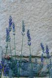 Beautiful and decorative lavender flowers. With defocused background Royalty Free Stock Photography