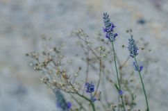 Beautiful and decorative lavender flowers. With defocused background Stock Photos