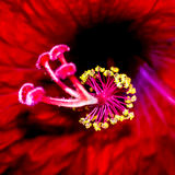 Beautiful and Decorative Red Flower Closeup Stock Images