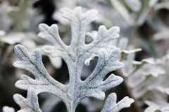Beautiful decorative silvery wooly curly leaves ornamental plant Jacobaea maritima Senecio cineraria bicolor. Macro view selective stock photo