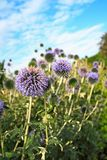 Beautiful decorative thistle garden flowers Stock Photos