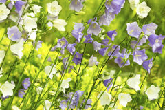 Beautiful decorative white and blue bells . Royalty Free Stock Images