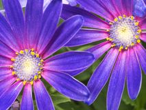 Beautiful deep blue and pink Senetti Daisy. Beautiful springtime Senetti Daisy with blue and pink pedals with yellow and white flowery centers stock photography