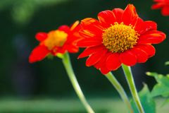 Beautiful deep orange daisy flowers with yellow center, in a lush green, Thai park. Beautiful deep orange daisy flowers with yellow center, in a lush green park Royalty Free Stock Photo