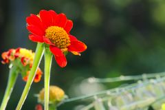 Beautiful deep orange daisy flowers with yellow center, in a lush green, Thai park. Beautiful deep orange daisy flowers with yellow center, in a lush green park Stock Photo