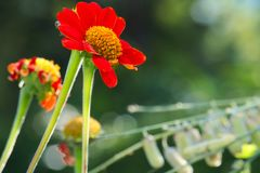 Beautiful deep orange daisy flowers with yellow center, in a lush green, Thai park. Beautiful deep orange daisy flowers with yellow center, in a lush green park Royalty Free Stock Images