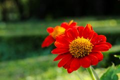 Beautiful deep orange daisy flowers with yellow center, in a lush green, Thai park. Beautiful deep orange daisy flowers with yellow center, in a lush green park Royalty Free Stock Photos