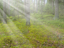 Beautiful deep pine and fir forest Royalty Free Stock Photography