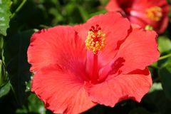 Beautiful Deep Pink Hibiscus Flower in Full Bloom royalty free stock photography