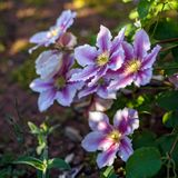 Beautiful deep pink, Purple flower Clematis in garden.  royalty free stock image