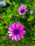 Beautiful deep purple chrysanthemum flower on green Stock Photo
