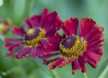 Beautiful deep purple and yellow cut-leafed coneflower. Beautiful deep purple zinnia flowers with their distinctive yellow centres blooming outdoors in a summer stock image