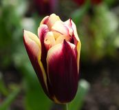 Beautiful deep red and yellow Tulip / Tulipa flower in the spring. With shallow depth of field and smooth bokeh foliage background Stock Photos
