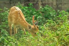A beautiful deer. A deer in the green garden stock photography