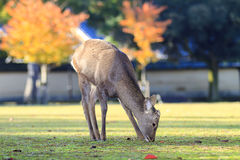 Beautiful deer with nice background Royalty Free Stock Photos