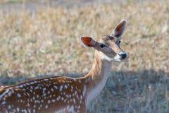 Beautiful deer portrait. Beautiful deer portrait in a farm Royalty Free Stock Photos