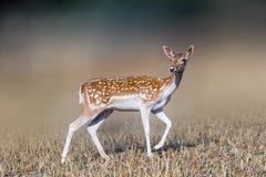 Beautiful deer portrait. Beautiful deer portrait in a farm Stock Photos