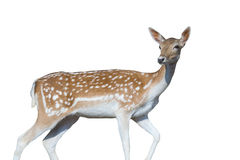 Beautiful deer portrait isolated on white. Beautiful and cute deer portrait isolated on white Royalty Free Stock Image