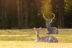 Beautiful deer resting in nature. Stock Photo